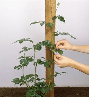 Tying long stem of plant to wooden post