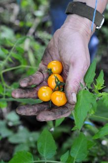 UK, Britain, England, Hand holding golden queen cherry tomatoes