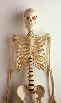 Upper part of human skeleton, skull, spinal column, ribcage, shoulders, collar bones
