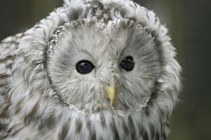 Ural Owl (Strix uralensis) head, close-up