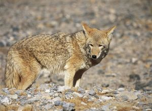 USA, California, Death Valley National Park, Coyote (Canis latrans)