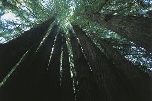 USA, California, Redwood National Park (UNESCO World Heritage List, 1980). Sequoia trees