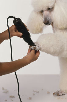 Using clippers to trim fur from feet of white Standard Poodle