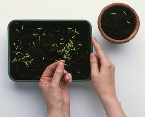Using fingers to plant Calendula (Pot Marigold) seedlings in compost seed tray