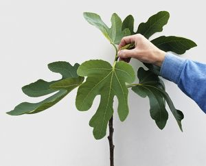 Man removing shoot from fig tree