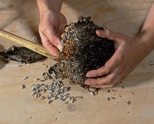 Using hands to remove sunflower seeds from dried flower head