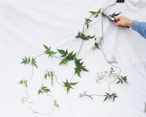 Using scissors to thin flowered shoots of climbing plant.