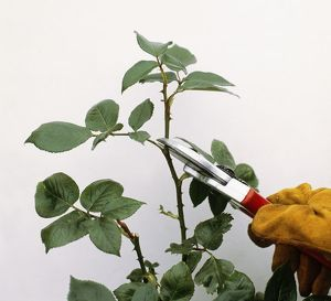 Using secateurs to cut blind rose shoot, hand wearing protective glove