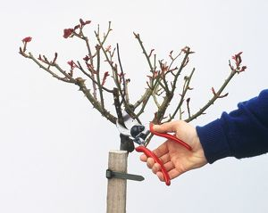 Using secateurs to prune standard rose attached to wooden post