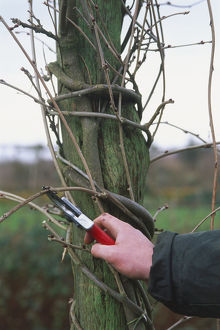 Using secateurs to prune a wisteria attached to a wooden support.