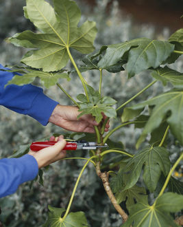 Using secateurs to remove semi-ripe Fatsia japonica shoot, close-up