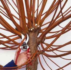 Using secatuers to prune established pollarded tree by cutting back stems to trunk