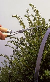 Using shears to cut yew as it grows and fills metal frame