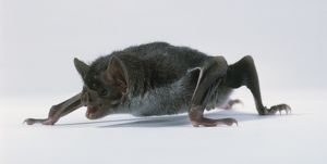 Vampire bat (Desmodus rotundus) on ground on all fours with open mouth