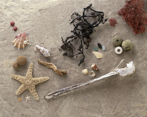 Variety of objects on beach, including shells, starfish, seaweed