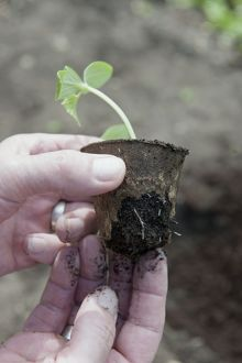 Vegetable seedling plug from biodegradable pot showing leaves and fibrous roots