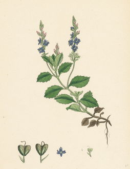 Veronica officinalis, var. genuina, Common Speedwell, var. a.