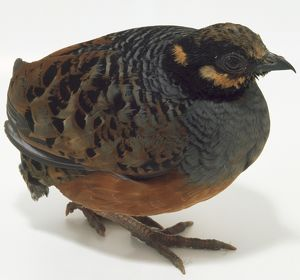 Side front view of a Chestnut-Bellied Partridge, with head in profile while facing