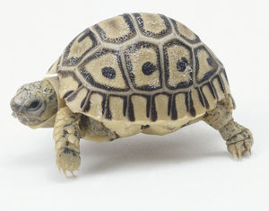 Side view of crawling Leopard Tortoise