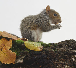 Side view of Eastern Grey Squirrel, Sciurus carolinensis, eating nut on moss-covered log.
