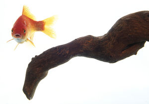 Front view of a Goldfish (Carassius auratus) swimming with tail to side