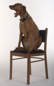 Side view of a Hungarian Vizsla Dog sitting on a wooden chair.