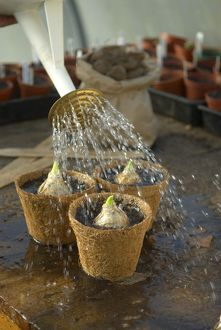 Watering bulbs in containers
