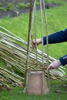 Weaving willow around hazel rods to create a willow wigwam