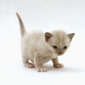 Four week old Lilac Burmese kitten, standing