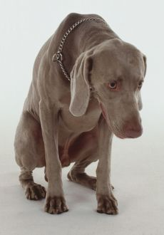 A Weimaraner dog crouches in a submissive position while hanging its head