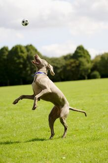 Weimaraner dog jumping for a ball