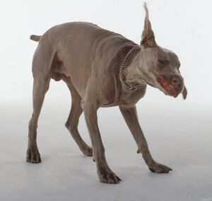 A Weimaraner dog with long ears and short dark fur shakes itself vigorously