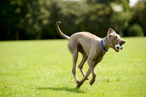 Weimaraner dog running in park with ball in mouth