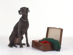 Weimaraner dog sitting beside suitcase