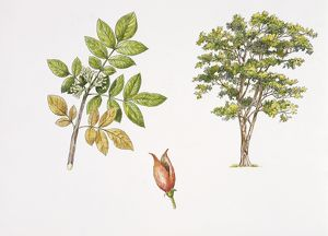Weinmannia rutenbergii plant with flower, leaf and fruit, illustration
