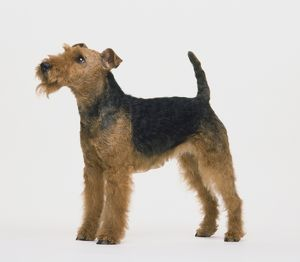 Welsh terrier (Canis familiaris) standing, looking up, side view.