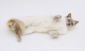 White Balinese Cat (Felis catus) rolling on its back, view from above