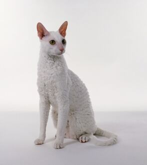 A white Cornish Rex cat sitting, looking to side