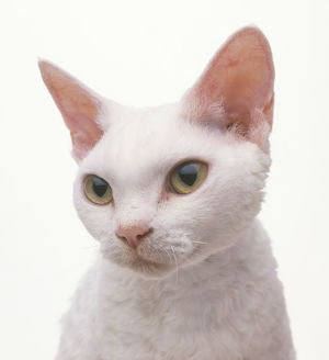 White Devon Rex cat, close-up