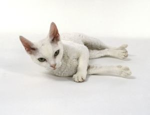 White Devon Rex cat lying on side, looking at camera