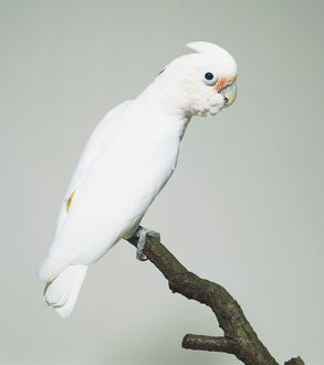White Goffin's Cockatoo (Cacatuinae)