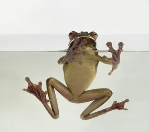 White-lipped tree frog, also known as Giant tree frog (Litoria infrafrenata) in water