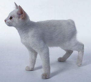 White Manx cat standing, side view