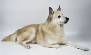 A white Norwegian buhund dog lies on the floor with its right paw tucked under itself