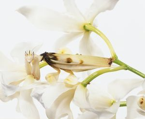 White orchid petals, female Orchid Mantis insect camouflaged amongst them, pale wings