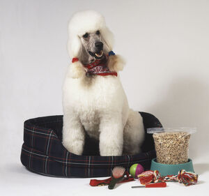 White Poodle (Canis familiaris) with a scarf tied around its neck sitting in basket