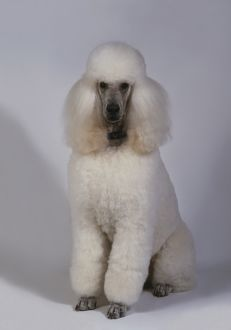 White standard Poodle, sitting
