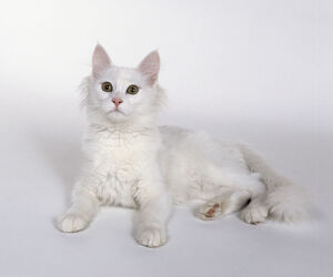 White Turkish Angora longhaired cat with almond-shaped eyes and longer ruff of hair around neck