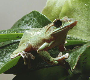 White's Tree Frog, moist shiny skin, large eyes, wide mouth, long thin toes, sitting on leaf