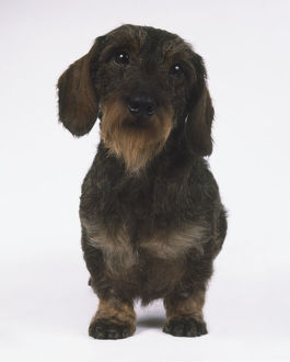 Wire-Haired Dachshund (Canis familiaris), standing, front view